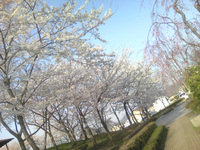 Hanami200704301_3