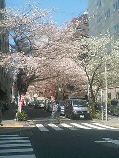 会社近くの桜並木です