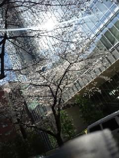 会社の近くの桜並木通り